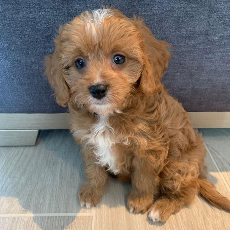 Coco puppy image